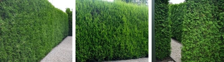 blog - hoe en wanneer coniferen snoeien?