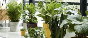 Kamerplanten kopen de binnenplant specialist for Grote kamerplanten