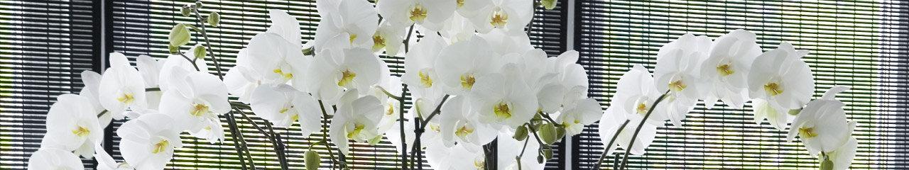 Orchidee wit (Phalaenopsis)