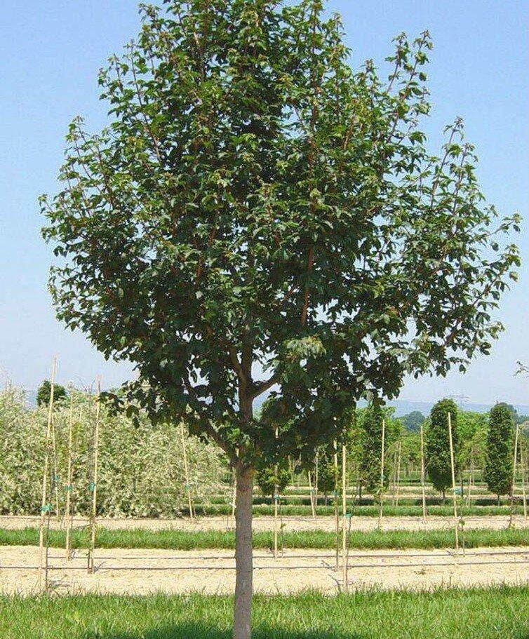 Acer campestre 'Queen Elizabeth'