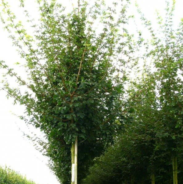 Acer campestre (Spaanse aak)