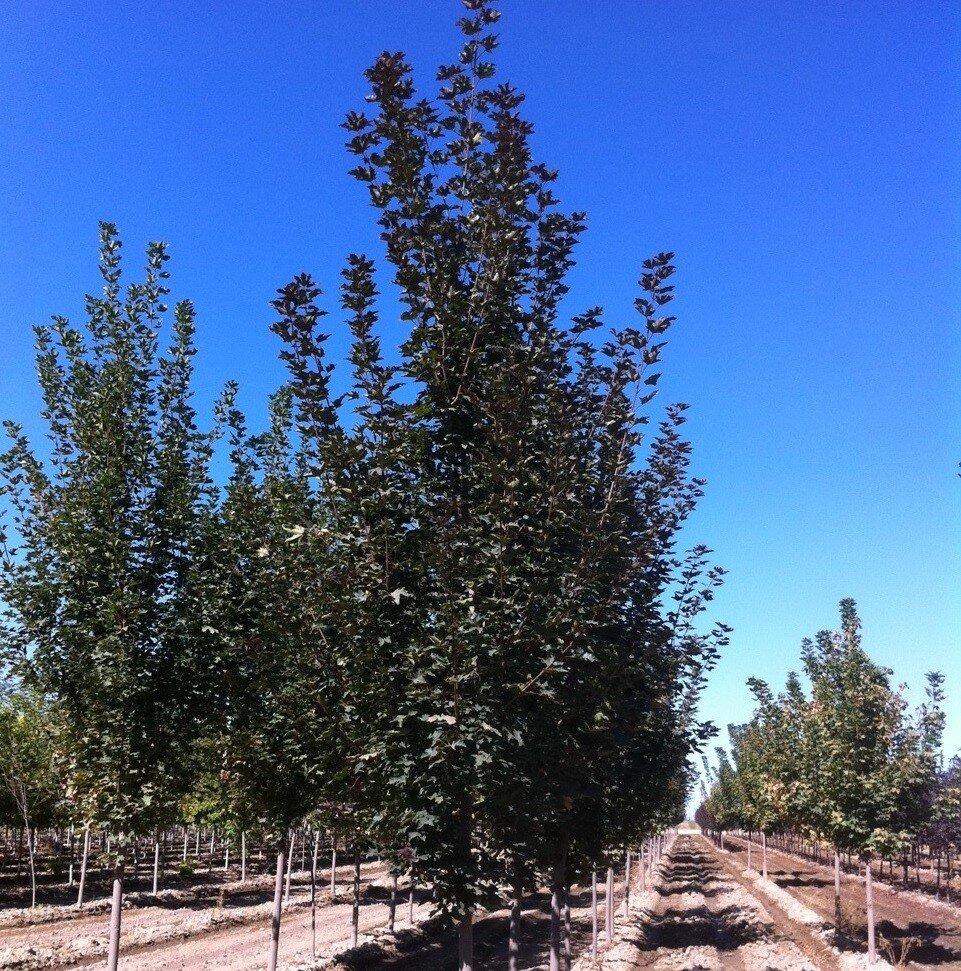 Noorse esdoorn (Acer platanoides 'Fairview')