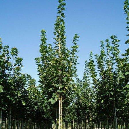 Acer platanoides 'Farlake's Green'