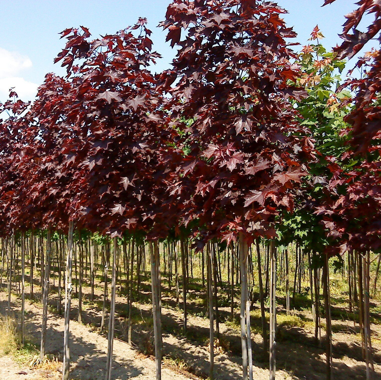 Roodbladige Noorse esdoorn (Acer platanoides 'Royal Red')
