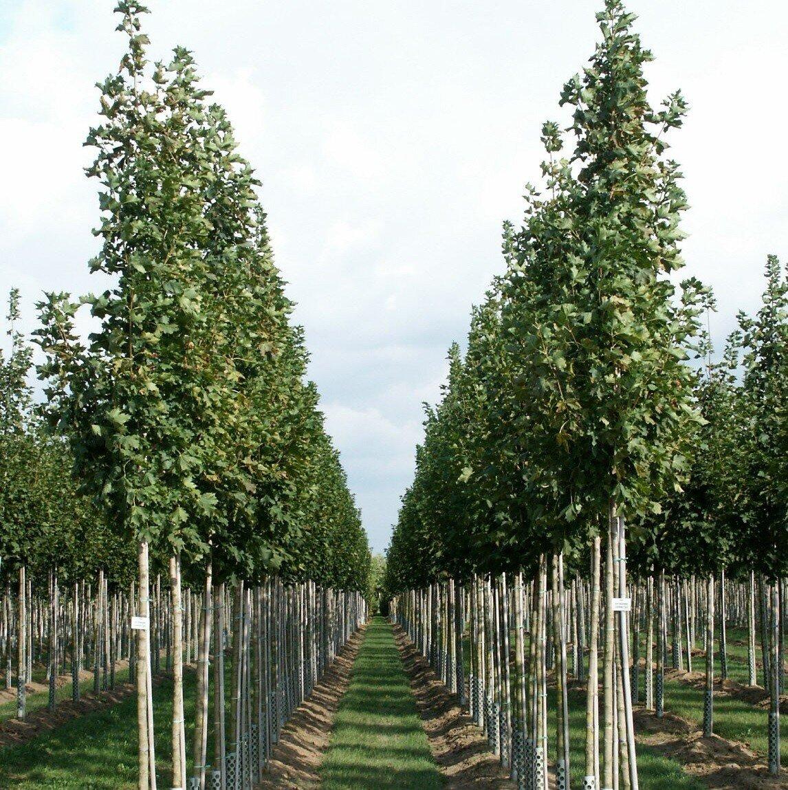 Noorse esdoorn (Acer platanoides)