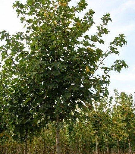 Acer pseudoplatanus 'Negenia'