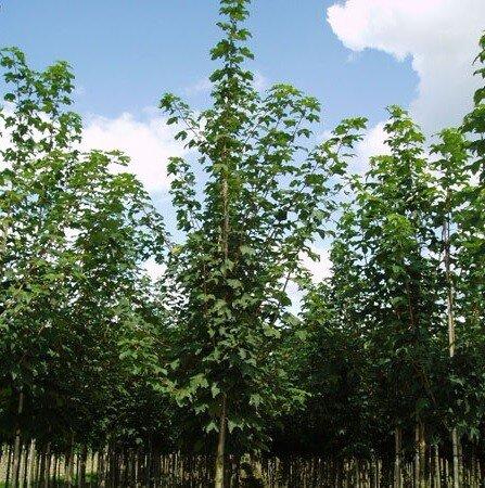 Acer pseudoplatanus 'Rotterdam'