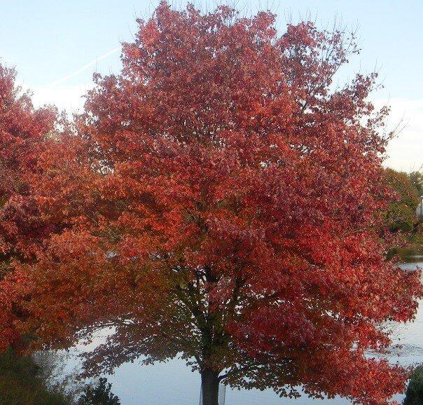 Rode esdoorn (Acer rubrum 'Red Sunset')