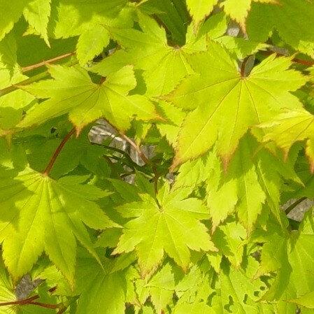 Gele Japanse Esdoorn