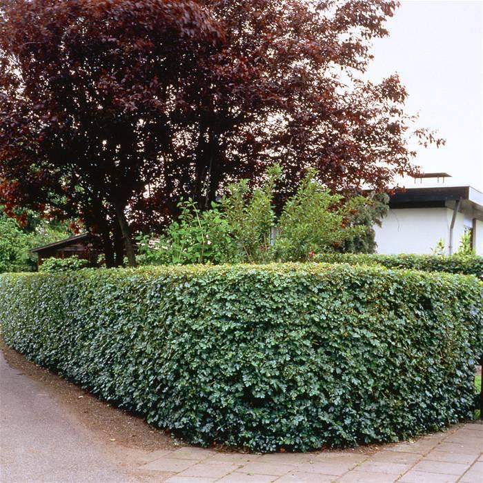 Esdoornhaag (Acer campestre)