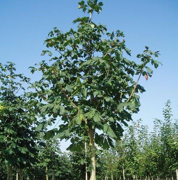Aesculus hippocastanum 'Baumanii'