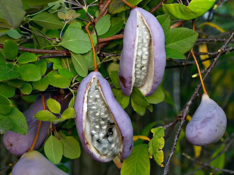 Akebia quinata vrucht