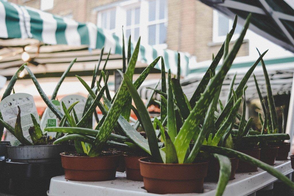 Aloe vera kamerplant