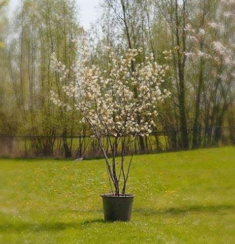 Amelanchier lamarckii meerstammig (krentenboom)