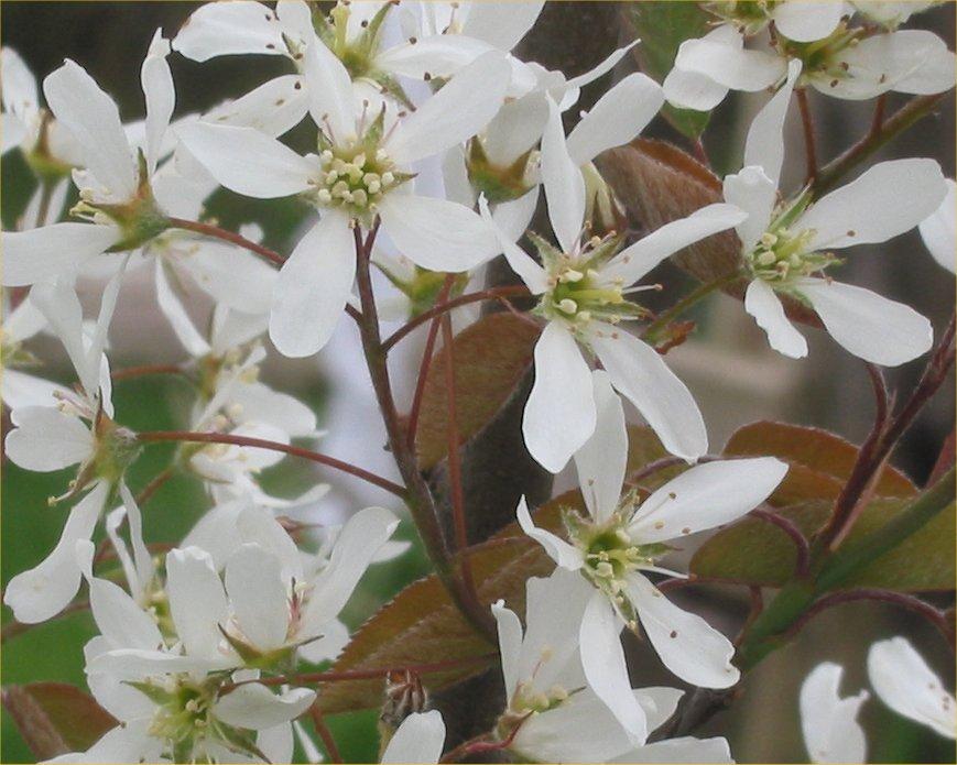 Krentenhaag (Amelanchier lamarckii) bloemen