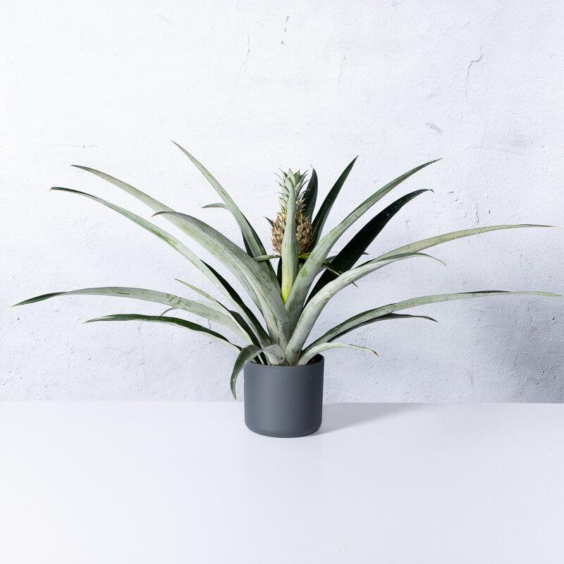 Ananasplant Bromelia Corona