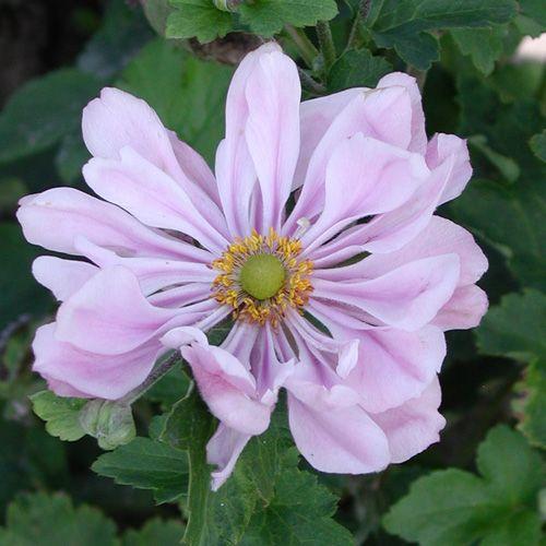 Anemone hybrida 'Köningin Charlotte'