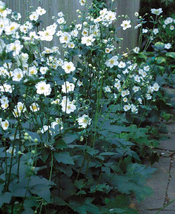 Anemone hybrida 'Honorine Jobert' als borderbeplanting