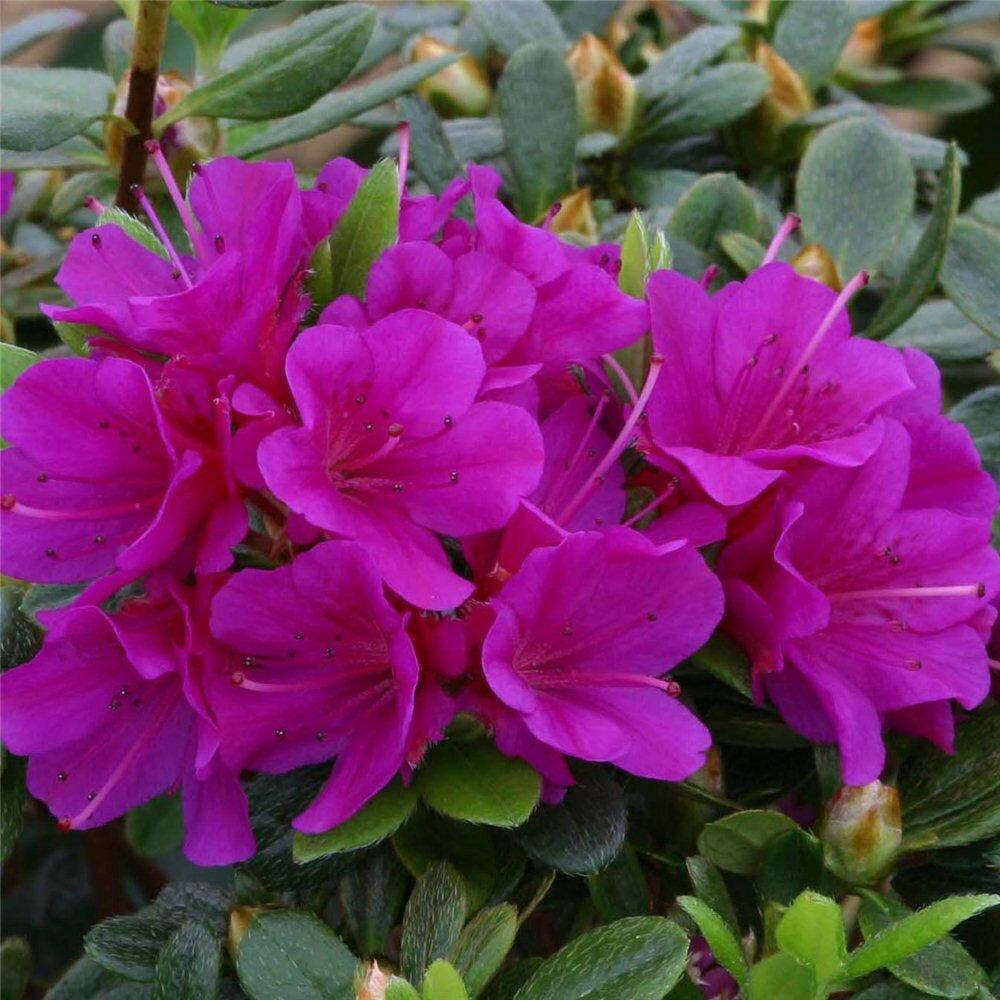 Azalea paars