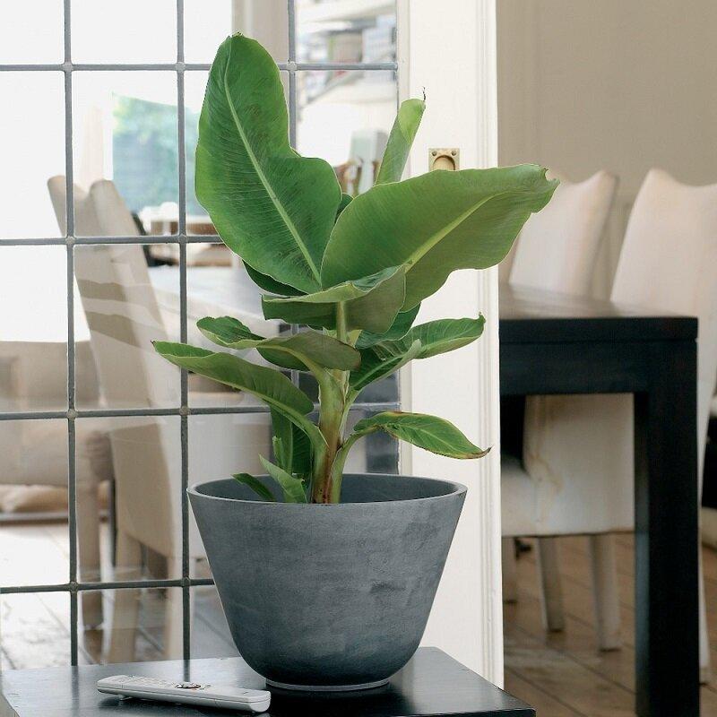 Bananenplant kopen for Grote kamerplanten