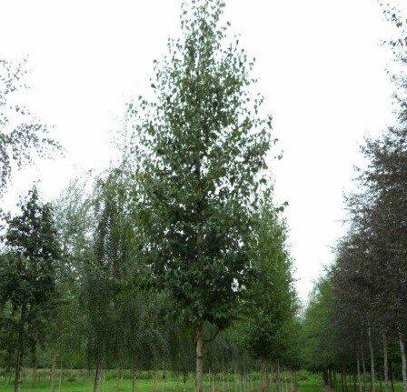 Betula ermanii 'Blush'