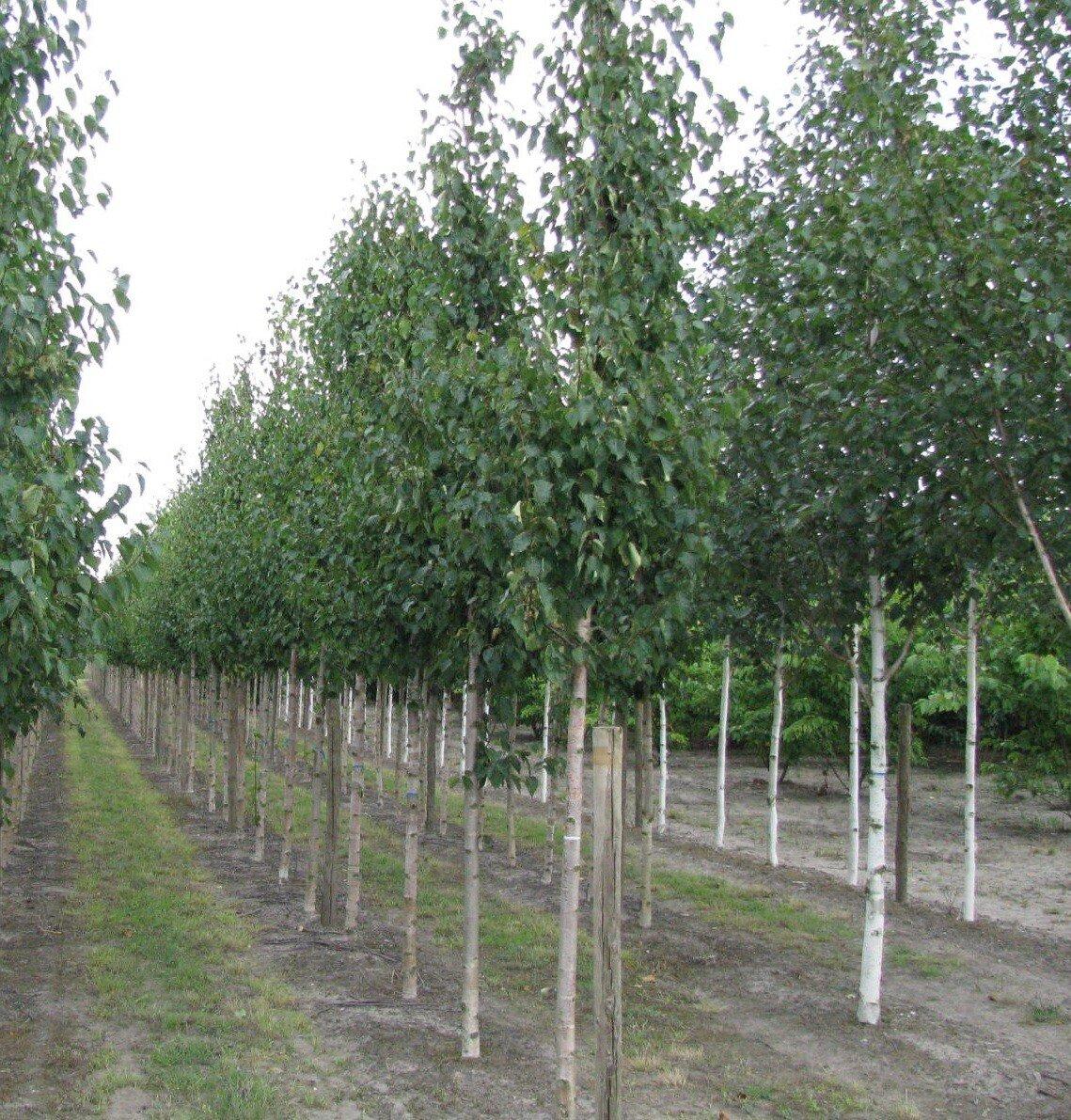 Goudberk (Betula ermanii 'Holland')