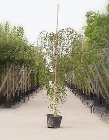 Betula pendula 'Youngii' (Prieelberk)