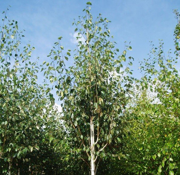 Betula utilis 'Jacquemontii' (Witte himalaya berk)