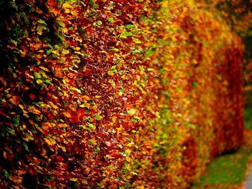 Beukenhaag herfstverkleuring