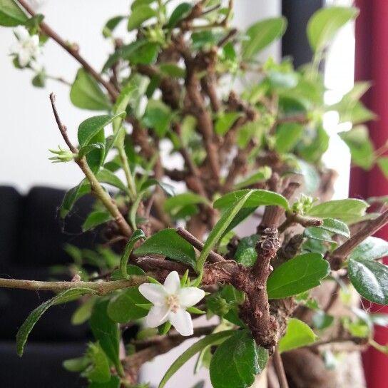 Bonsai 'Carmona' bloemen