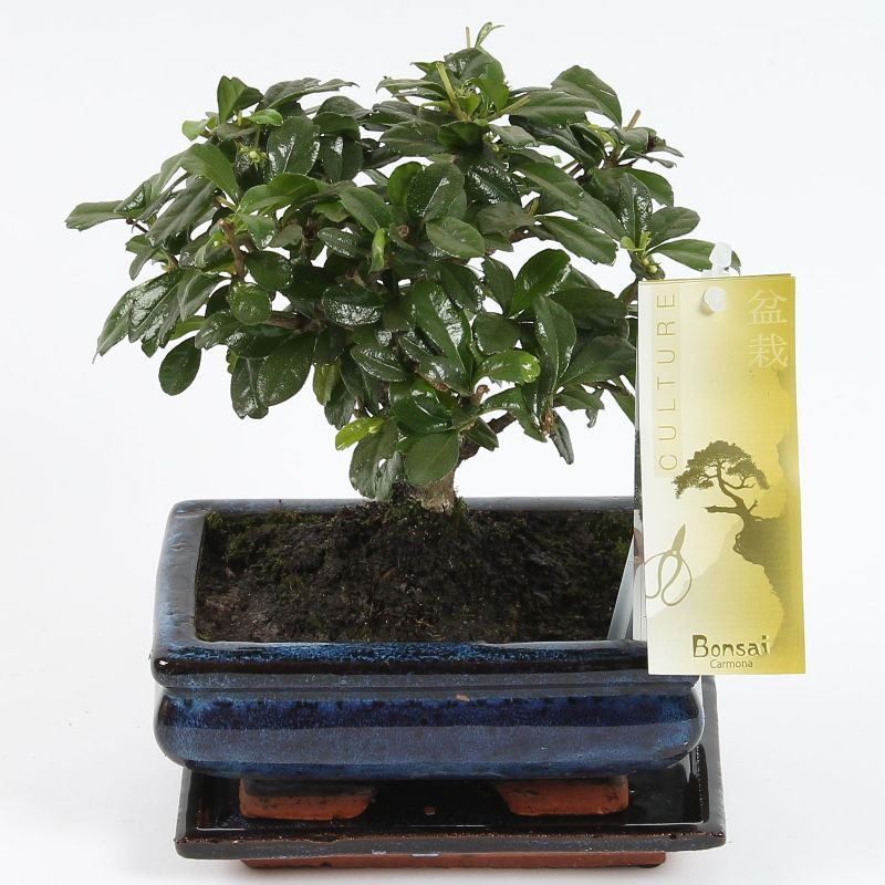 Bonsai 'Carmona' bolvorm