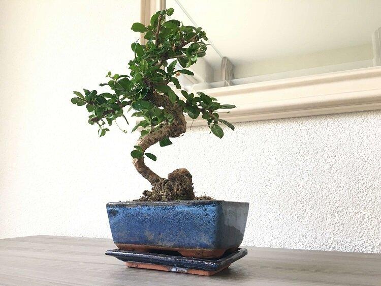 Bonsai 'Carmona' S-vorm