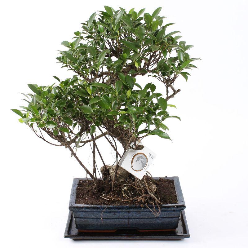 Bonsai Ficus S-vorm 30 cm