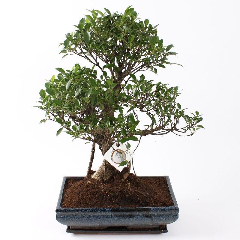 Bonsai Ficus S-vorm 35 cm