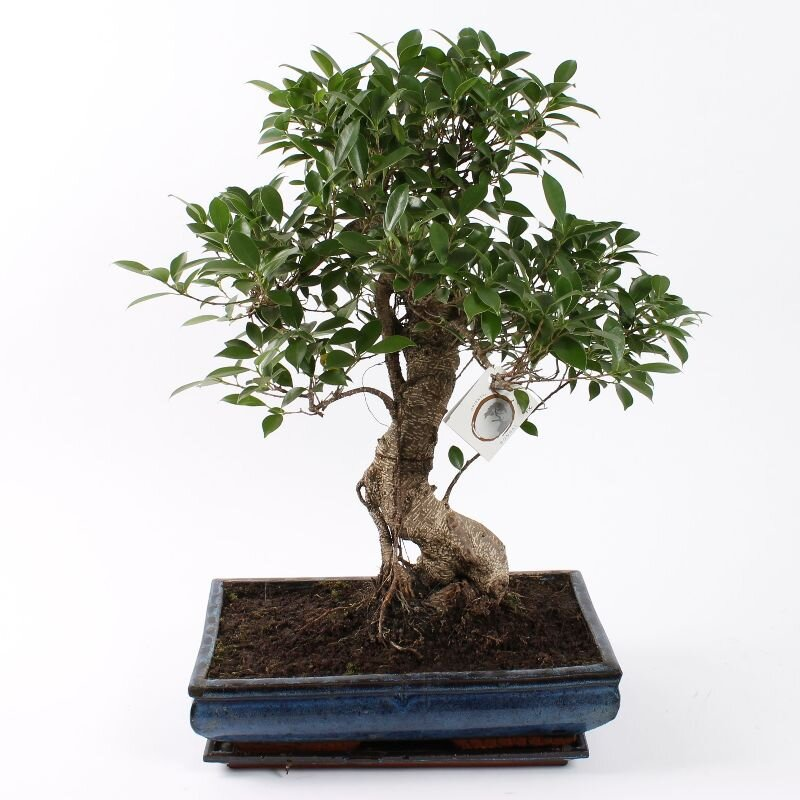 Bonsai Ficus S-vorm 40 cm