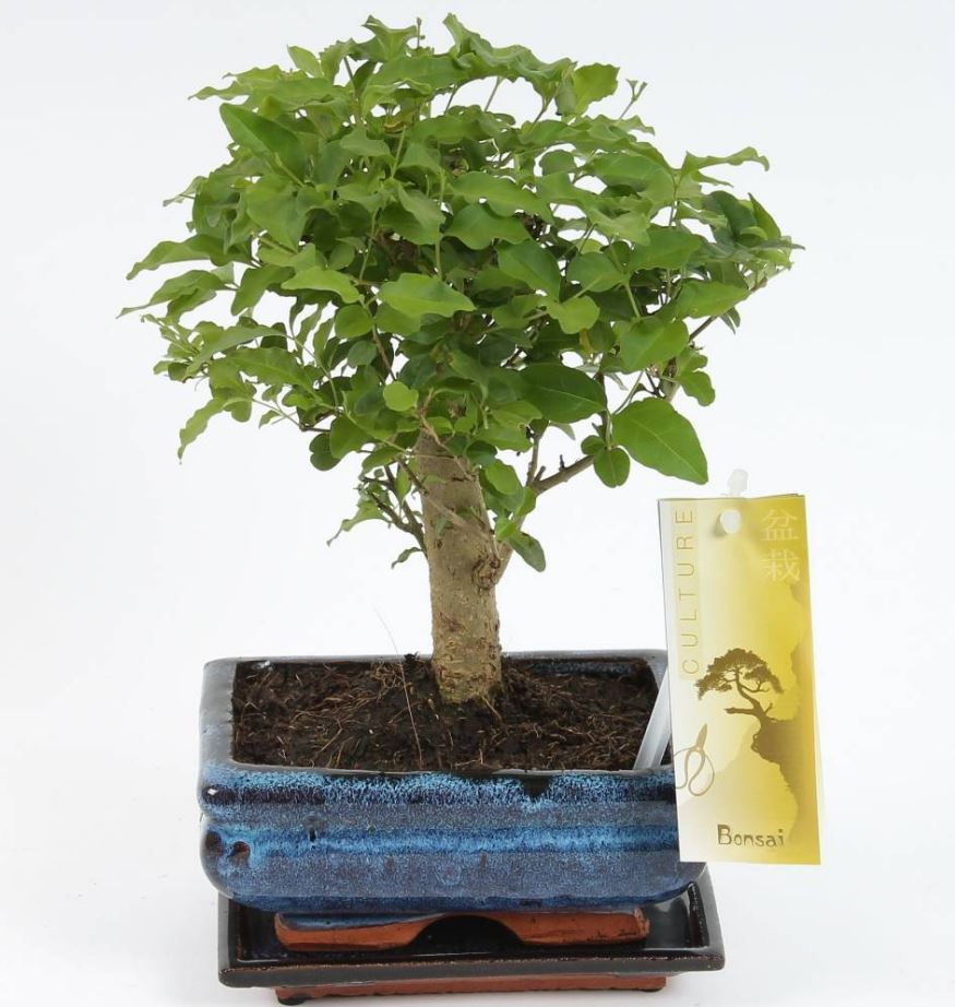 Bonsai 'Sageretia' bolvorm