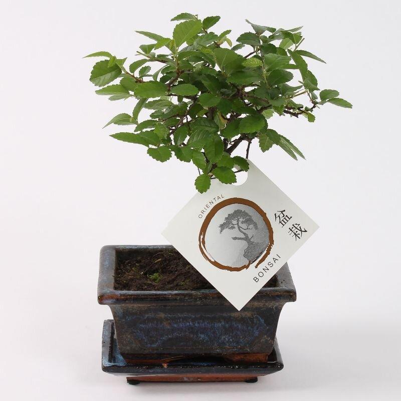 Bonsai 'Zelkova' bolvorm 12 cm