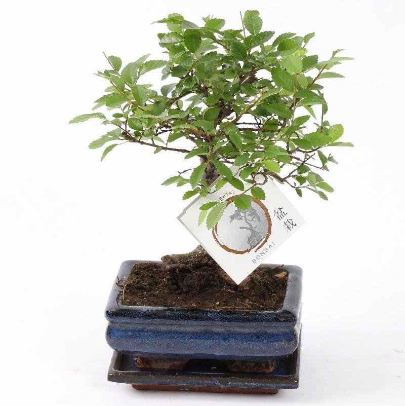 Bonsai 'Zelkova' bolvorm 15 cm