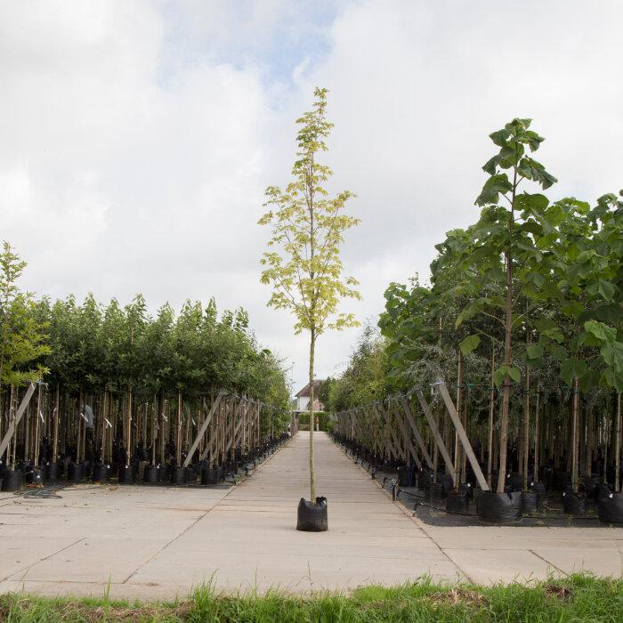 Bontbladige Noorse Esdoorn (Acer platanoides 'Drummondii')