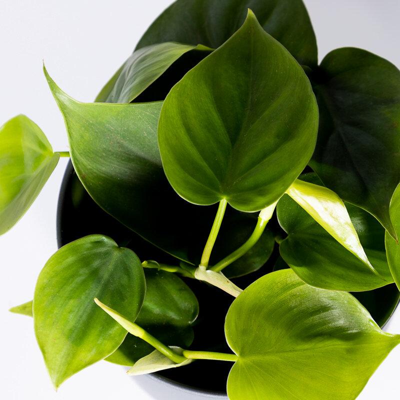 Philodendron scandens als hangplant