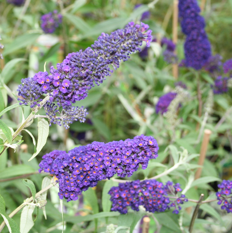 Vlinderstruik blauwpaars