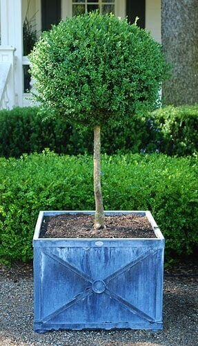 Buxusbol op stam in plantenbak