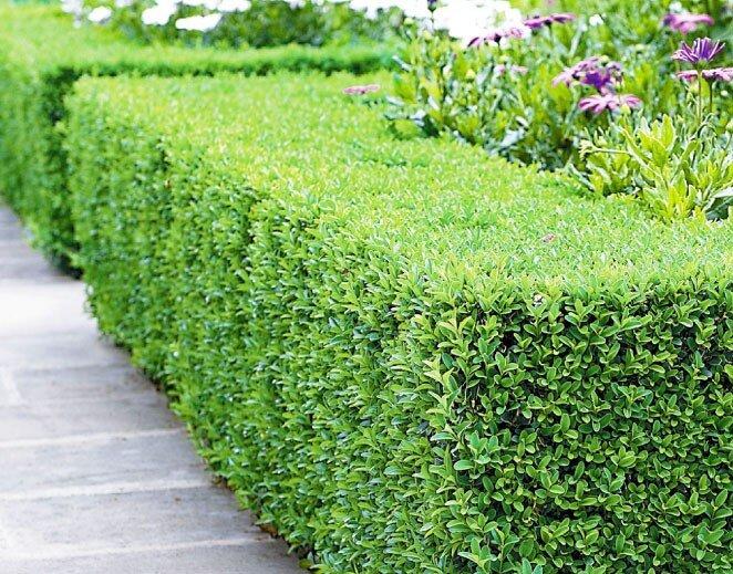 Buxushaag (Buxus sempervirens)