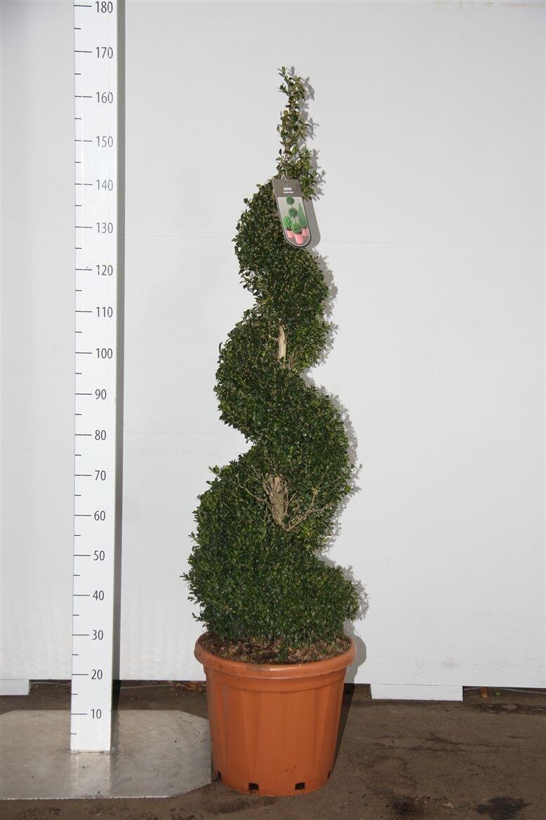 Buxus spiraal