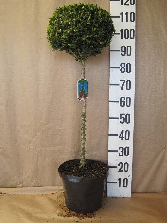 Buxusbol op stam