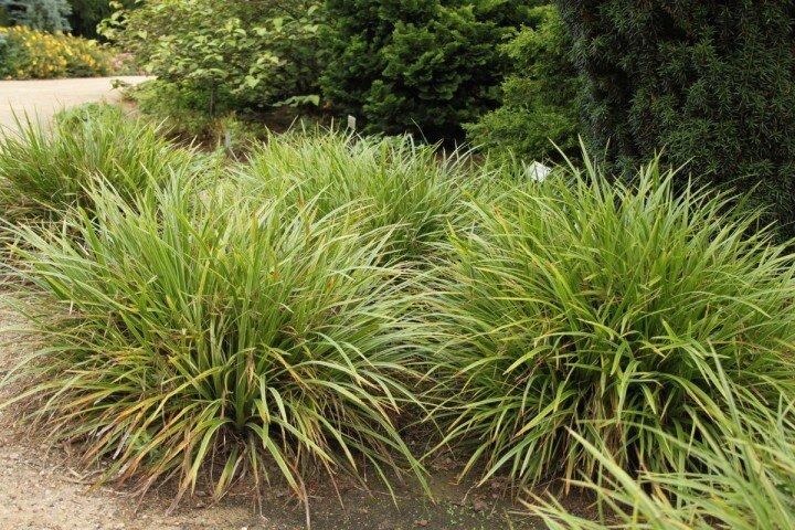 Carex morrowii ´Variegata´