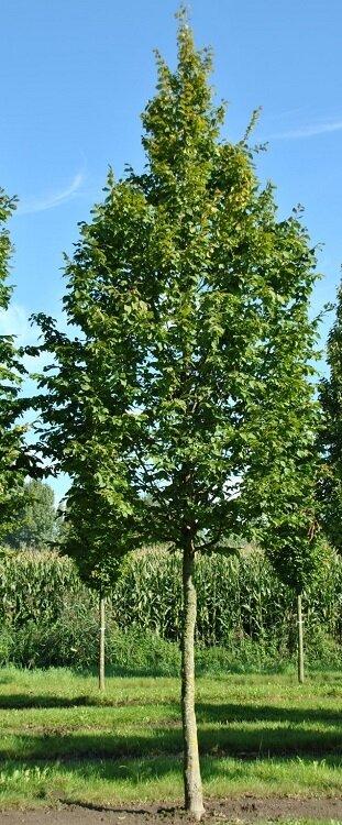 Carpinus betulus 'A. Beeckman'