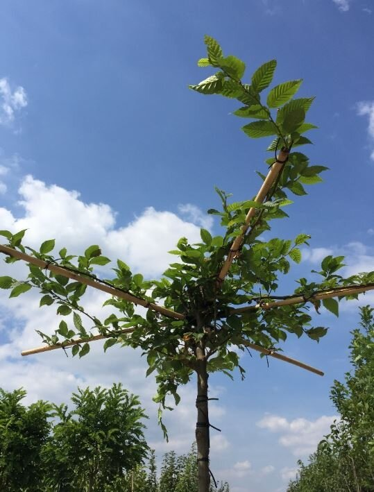 Carpinus betulus kruisdakboom
