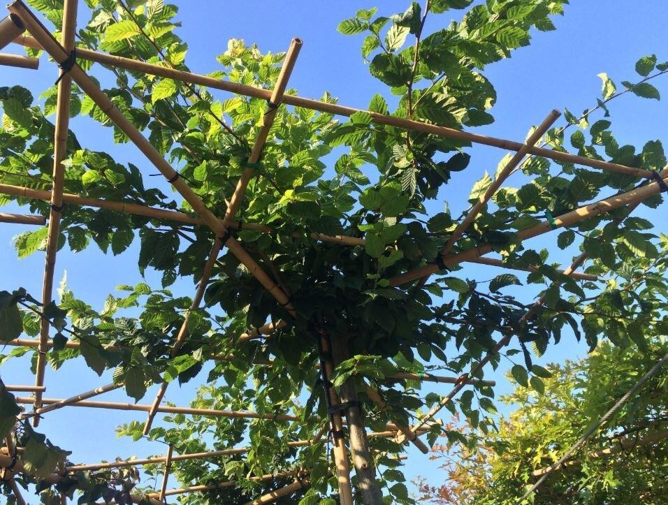 Carpinus betulus vierkante dakboom