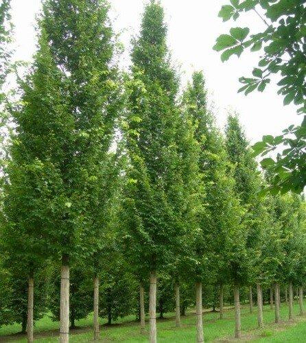 Carpinus betulus 'Lucas'